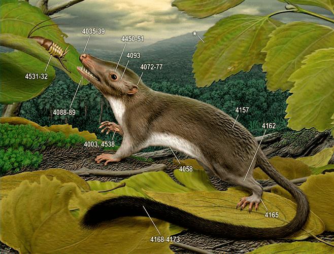 Реконструкция внешности предполагаемого последнего общего предка плацентарных