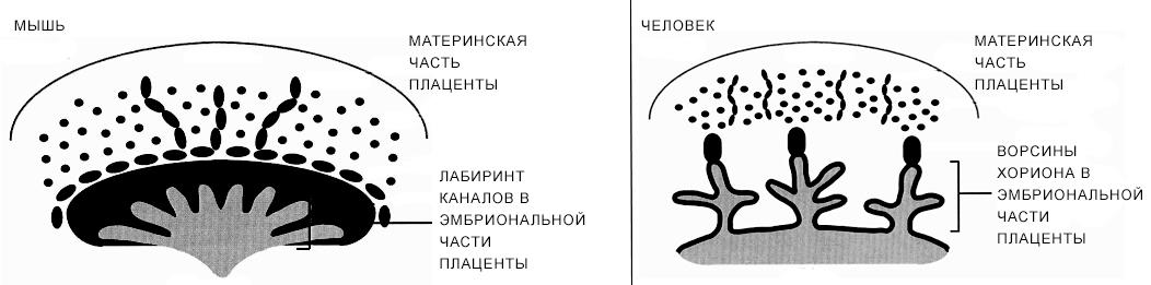 Сравнительная анатомия ворсинчатой плаценты человека и лабиринтной плаценты мыши
