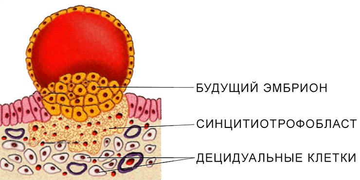 Схематическое изображение одной из стадий имплантации