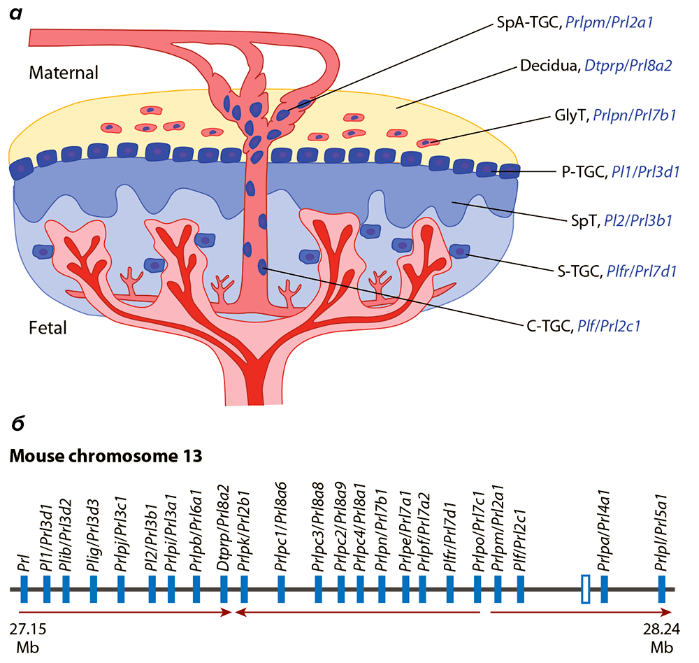Работа семейства гена пролактина