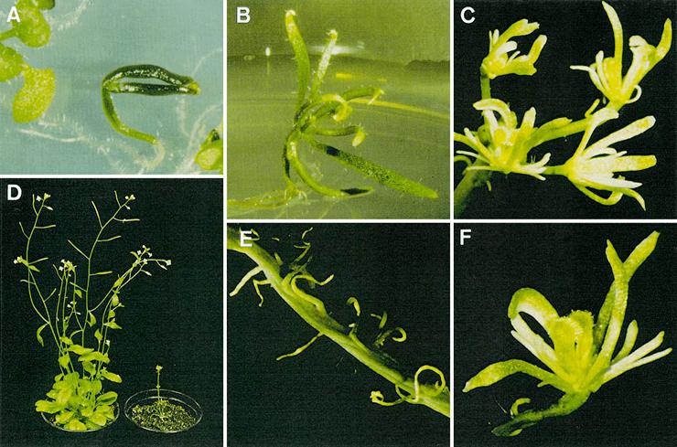 Arabisopsis thaliana