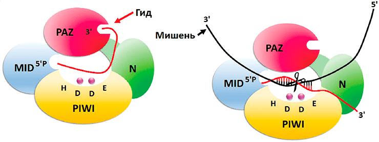 Структура и механизм действия белков-аргонавтов