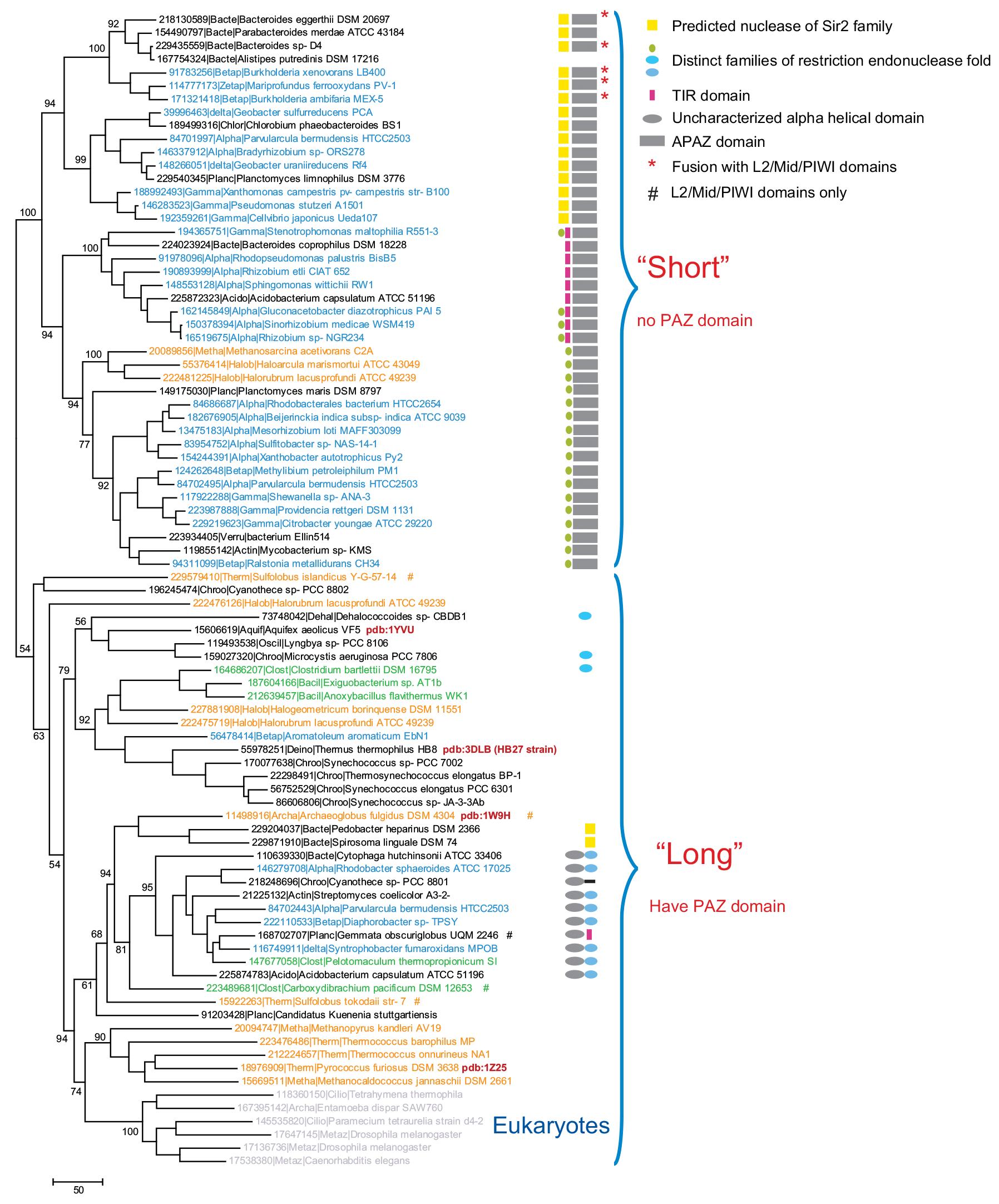 Филогенетический анализ PIWI-доменов и организация предсказанных pAgo-оперонов