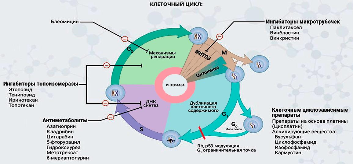 Воздействие различных химиотерапевтических препаратов на разные стадии клеточного цикла