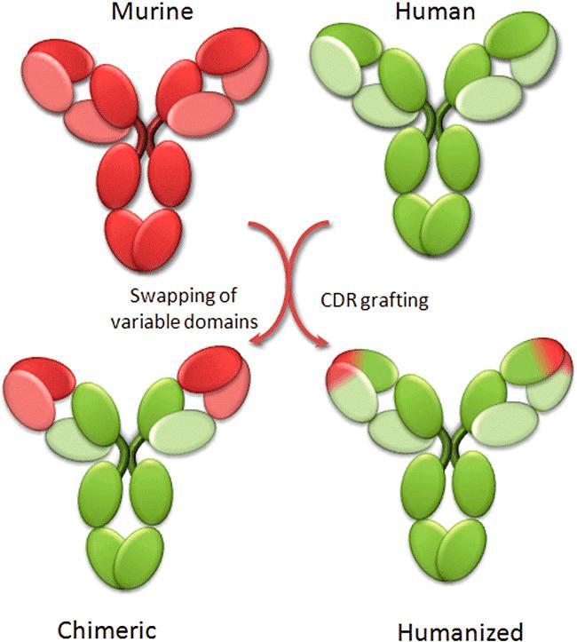 Принцип гуманизации антител