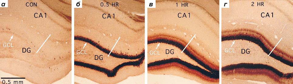 Динамика накопления мРНК Arc
