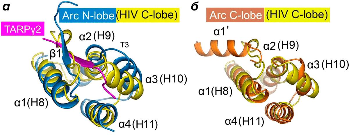 Трехмерная структура доменов белка Arc