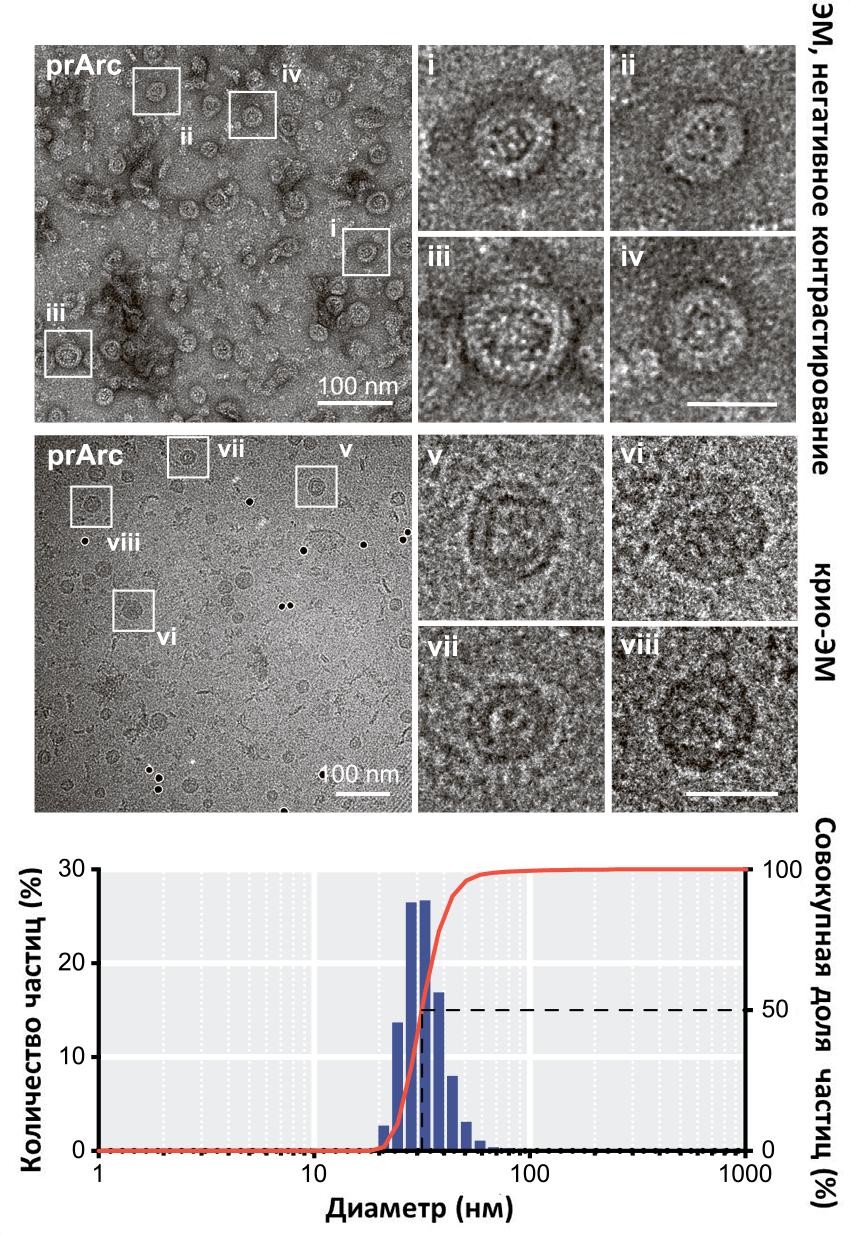 Капсидоподобные структуры, формируемые белком Arc