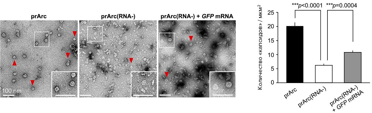Взаимодействие Arc с РНК