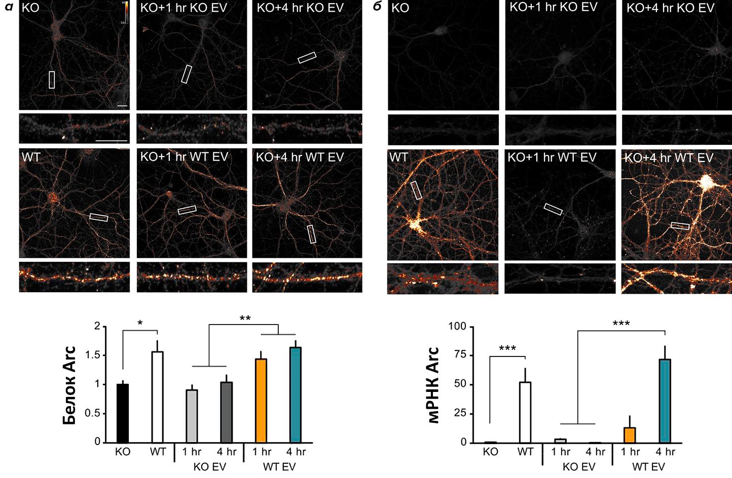 Эндогенный Arc способствует переносу мРНК Arc от нейрона к нейрону