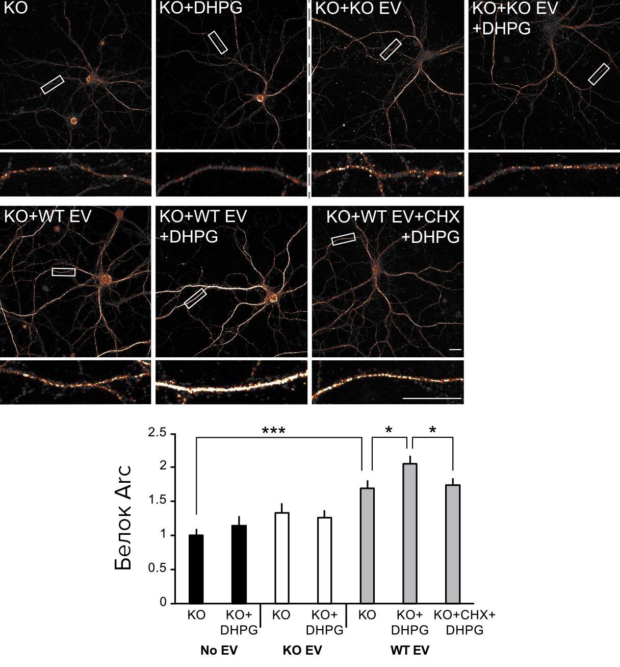 Трансляция экзогенной мРНК Arc при деполяризации мембраны дендритов