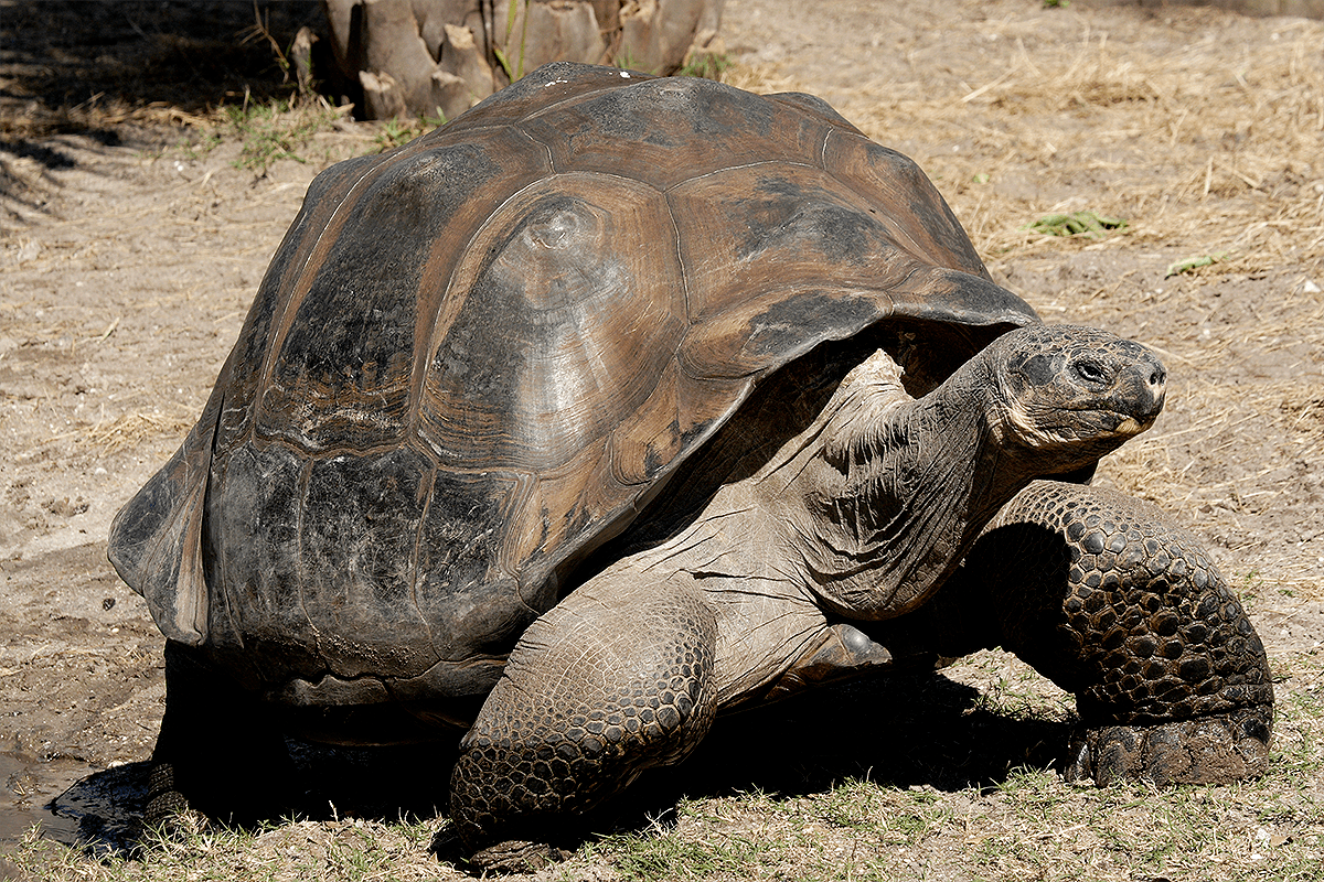 Абингдонская слоновая черепаха