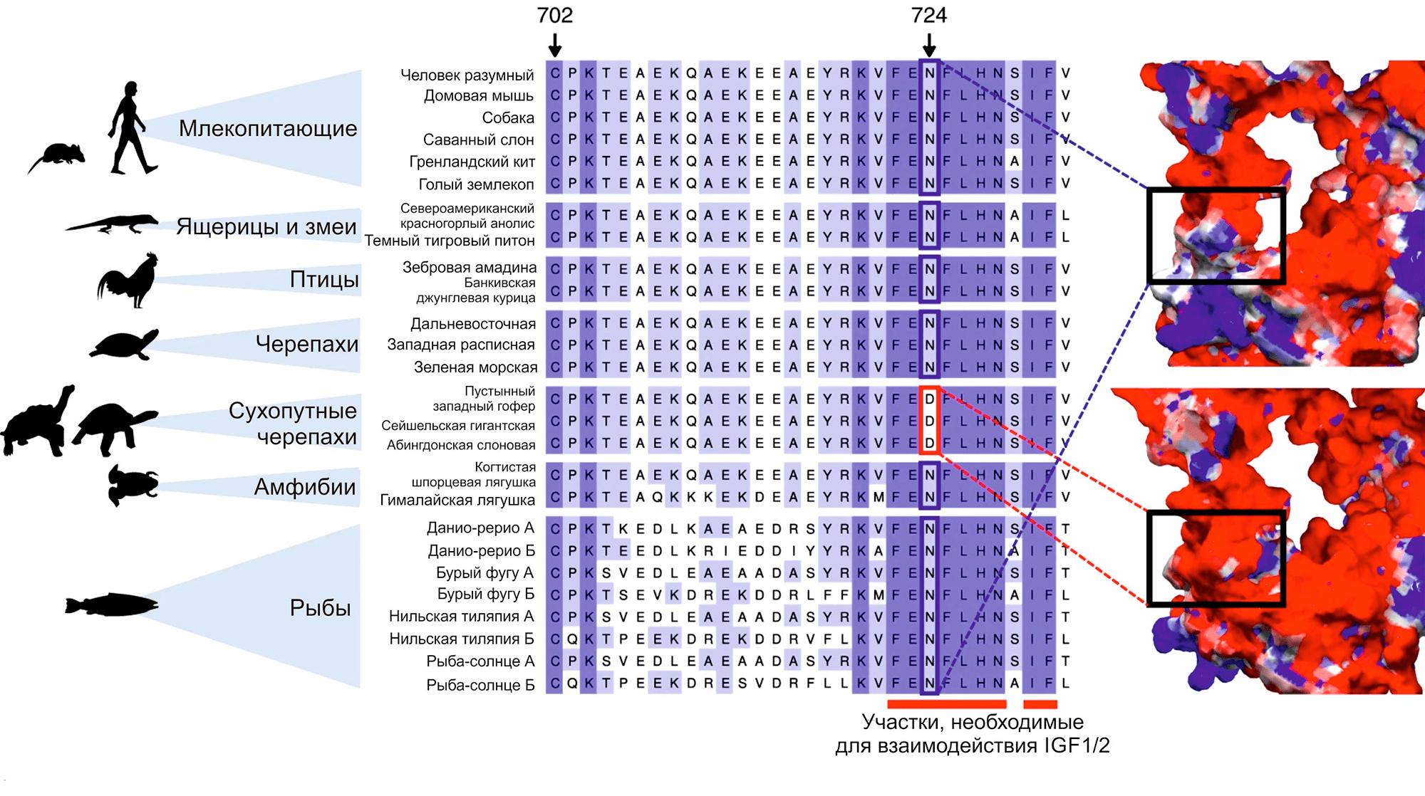 Множественное выравнивание последовательности белка IGF1R вокруг участка 724-й аминокислоты