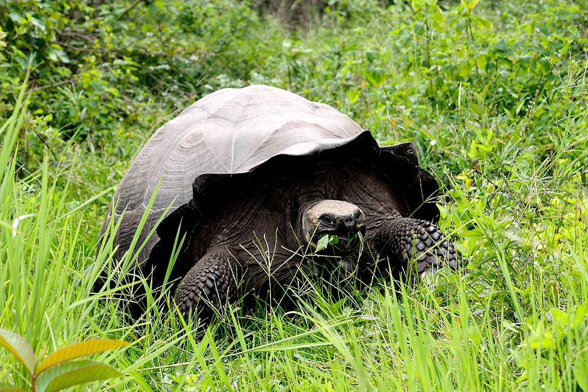 Черепаха донфаусто