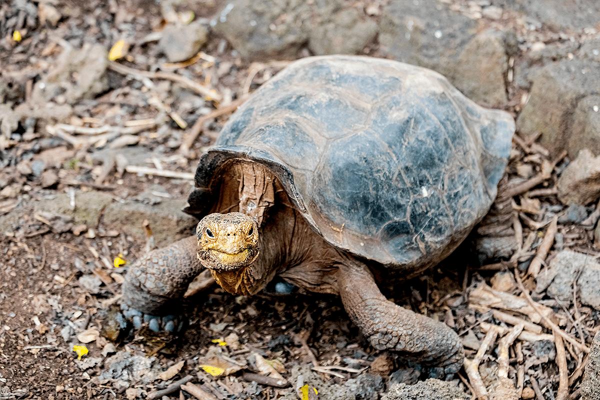 Гигантская чатамская черепаха