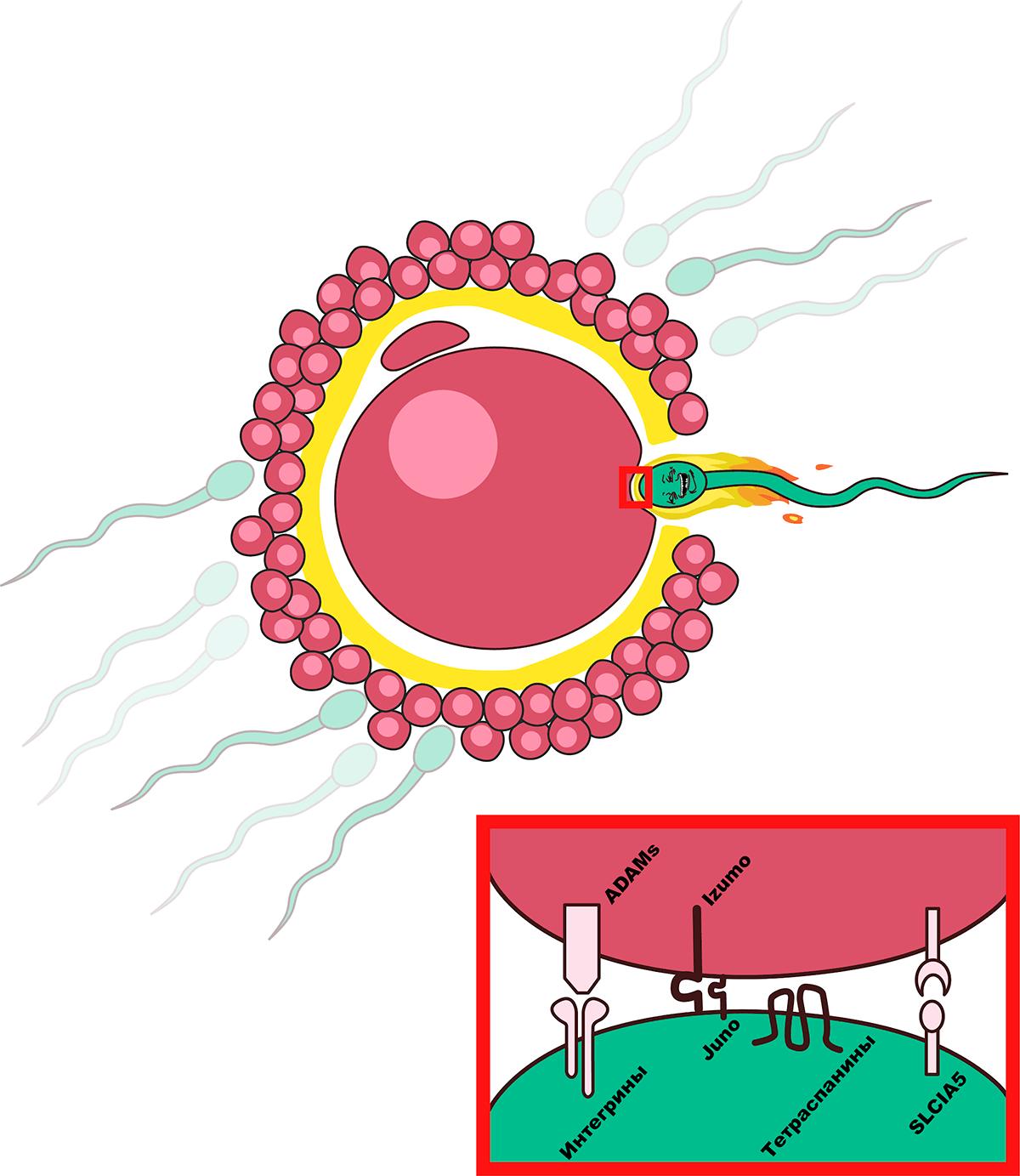 Молекулы, участвующие в слиянии сперматозоидов и мембран ооцитов при оплодотворении