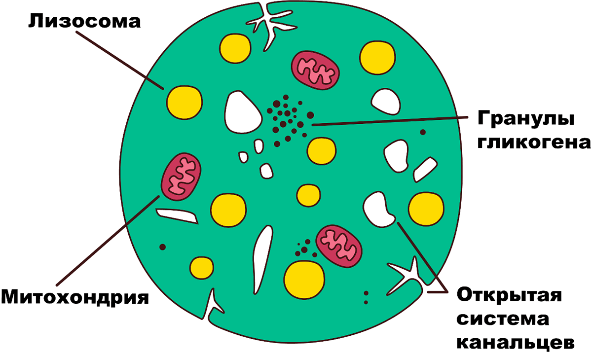 Схематическое строение тромбоцита